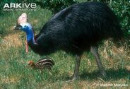 Male-southern-cassowary-with-young-chick