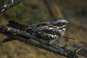 Nightjar, European
