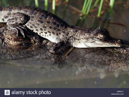 Saltwater Crocodile hatchling