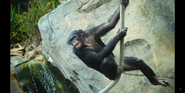 San Diego Zoo Chimp