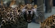 Zoo 2015 Leopard