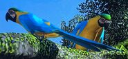 Blue and Gold Macaw ZTX