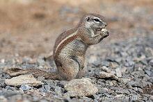 Cape-ground-squirrel-20447453