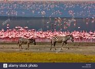 Flamingo and Zebra