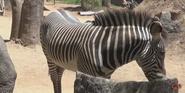San Diego Zoo Grévy's Zebra