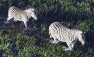 Earth 2009 Zebras