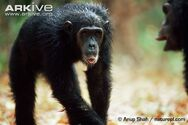 Eastern-chimpanzee-subordinate-pant-in-response-to-dominant-grunt