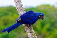 Hyacinth-Macaw-Luis-Segura-Trogon-Tours1