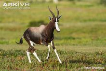Male-bontebok-chasing-other-males-out-of-his-territory