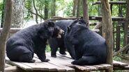 Male and female Asiatic black bears