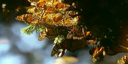 Mama Mirabelle Butterflies