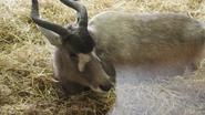 Marwell Zoo Addax