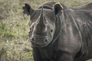 Rhinoceros, Black 2