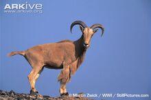 Barbary-sheep