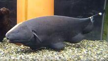 Black-Ghost-Knifefish