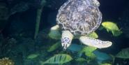 Brookfield Zoo Sea Turtle