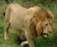 HugoSafari - Lion04