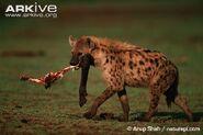Spotted-hyaena