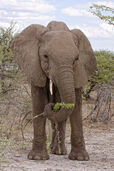 509 1young elephant