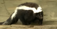Pittsburgh Zoo Skunk