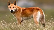 58682918 wild dog screz