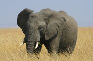 African bush elephant, also known as the savana elephant or African elephant