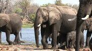 Elephant Herd Wet from Swimming