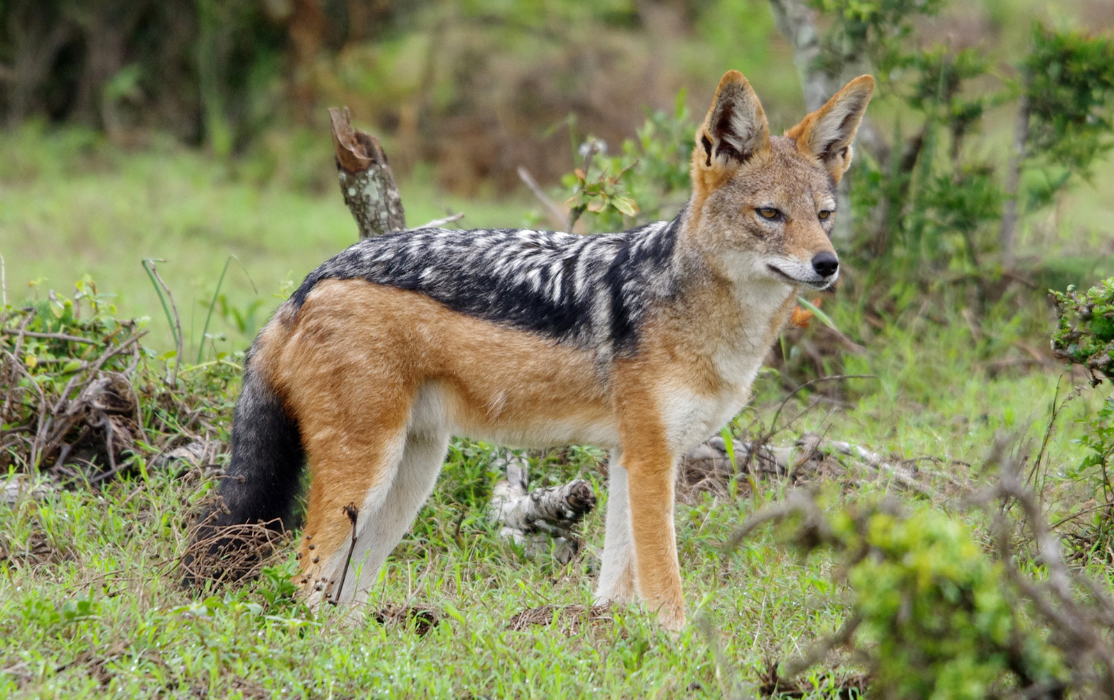 Animal jackal: description and lifestyle 27