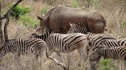 Rhinoceros and Zebras