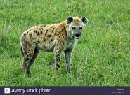 Spotted-hyena-in-savanna-masai-mara-kenya-east-africa-CREYAC
