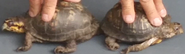Two Eastern Box Turtles