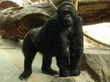 Antwerpen Zoo 12-08-2010 Gorilla beringei graueri F-Amahoro ISB-9922 001s