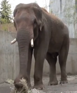 Oregon Zoo Indian Elephant
