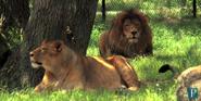 Six Flags Safari Lions
