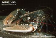 Common-lobster