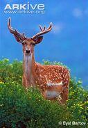Persian-fallow-deer-buck