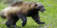 Wolverine (Animals)