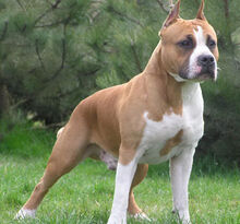 Brown-pitbull-dog-terrier