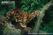 Clouded-leopard