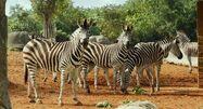 Life.of.Pi Zebras