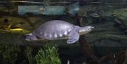 San Antonio Zoo Pignose Turtle