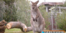 San Diego Zoo Safari Park Wallaby