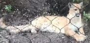 Toledo Zoo Cougar