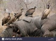 Vultures and A Dead Elephant