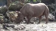 Disney's Animal Kingdom Black Rhino