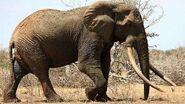 Elephant, East African Bush