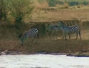 HugoSafari - Zebra05