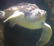 RBZaG Sea Turtle