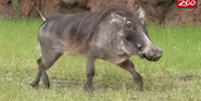 Columbus Zoo Warthog