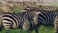 Deadly 60 Zebras